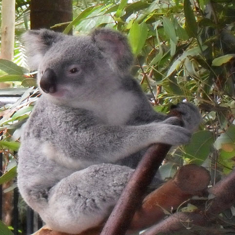 Sir-Richard-Bransons-Koala-conservancy